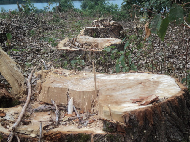 Partidul Verde Suceava reclamă tăierile din pădurea Călinești Enache