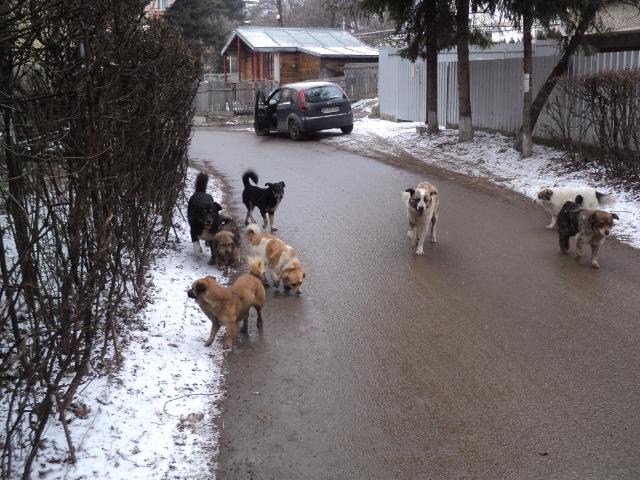 Tot mai mulți câini comunitari pe străzile Sucevei, aproape 200 au fost prinși de hingheri în acest an