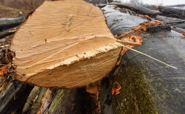 Un bărbat s-a ales cu dosar penal după ce a tăiat ilegal 48 de arbori, la Cârlibaba