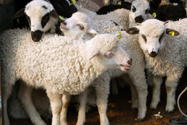 Crescătorii de ovine aflați la distanțe apreciabile de un abator pot sacrifica mieii în fermă