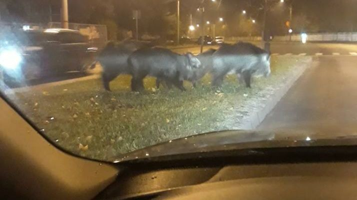 Mistreți în curtea IJP Suceava și în parcul Universității!Animalele au fost îndepărtate de jandarmi