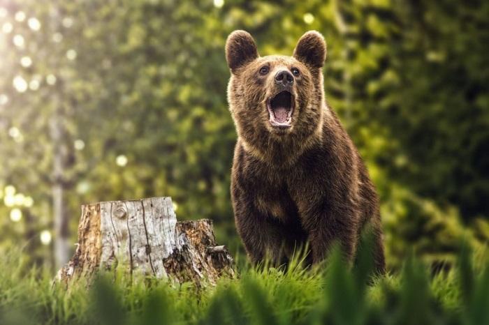 Ursul care se plimbă liber prin Câmpulung Moldovenesc bagă în ședință Comitetul Județean pentru Situații de Urgență Suceava